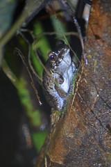 BRN19-0452j (ianh3000) Tags: gunang mulu national park sarawak borneo malaysia frog amphibian