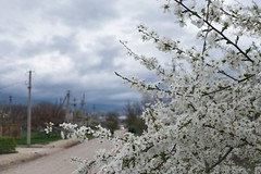 (lolita.khlynina) Tags: road vacation blue green sky trees tree white flowers flower nature spring