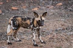 Wildhund (Just_Maze) Tags: wildhund wild dog africa afrika wildlife südafrika southafrica kruger nationalpark