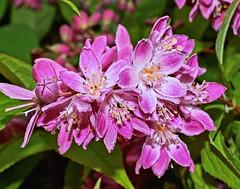 Deutzia x hybrida ´Strawberry Field´; Hydrangeaceae (1) (pflanzenflüsterer) Tags: hydrangeaceae deutzia hybride strauch laubwerfend 5petals rosa pink härlen garten stelle niedersachsen germany