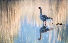 Rose Water Blues (Fourteenfoottiger) Tags: greylaggeese goose bird wildlife wildbird reedbeds reflections waterway water countryside anseranser wetlands marshes