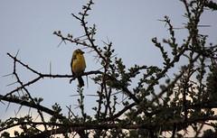 African citril, Serengeti, Tanzania (inyathi) Tags: africa eastafrica tanzania africananimals africanwildlife africanbirds birds africancitril crithagracitrinelloides serengeti serinuscitrinelloides