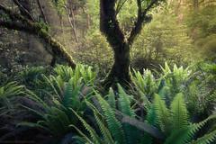 Hidden (Federico Monetti Photography) Tags: forest rainforest ferns trees moss vegetation lush fiordland newzealand wilderness landscape photography nationalpark nature