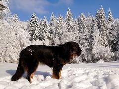 46070012355_5c1b1a4cc0_o (daniele.hauenstein) Tags: hund hovawart