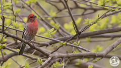 House Finch - Haemorhous mexicanus (Lauren Tucker Photography) Tags: america bird housefinch jamaicabay nature newyork newyorkcity ny nyc usa wildlife canon slr camera markii 7d 100400mm copyright ©laurentuckerphotography photography photographer photograph photo image pic picture allrightsreserved 2019 winter spring colour wild mammal migration us city manhattan centralpark brooklyn queens haemorhous mexicanus