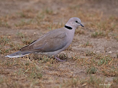 Ring-necked Dove Streptopelia capicola tropica (nik.borrow) Tags: bird dove ndutu