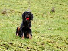 44768815290_217531ea58_o (daniele.hauenstein) Tags: hund hovawart