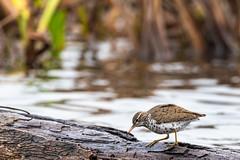 Bécasseau (DenisTalbot) Tags: bécasseau maraisprovancher nature oiseau