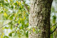 Carolina Chickadee [04.24.19] (Andrew H Wagner | AHWagner Photo) Tags: 5dmk3 5d3 5dmkiii 5dmarkiii 5dmark3 canon eos 100400l 100400mm f4556l f4556 is ii usm zoom telephoto 100400lii patuxentriverpark riverpark patuxentriver patuxent river park jugbay marylandnaturalarea princegeorgescounty wildlifesanctuary birds birding birdphotography nature marsh swamp wetlands naturalarea forest woods carolinachickadee chickadee bokeh dof maryland