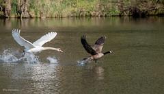 Los hau ab hier...... (wernerlohmanns) Tags: wildlife wasservögel outdoor natur nabu nsg nikond750 schärfentiefe sigma150600c deutschland lopausee