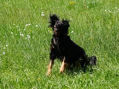 PIC15315-G81 (daniele.hauenstein) Tags: hund hovawart