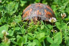 Terrapene carolina carolina | Eastern Box Turtle (brycewade) Tags: turtle knoxville macro