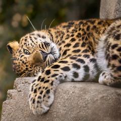 Still as Cute and Cunning as a Kitten (Penny Hyde) Tags: amurleopard bigcat cub leopard leopardcub sandiegozoo