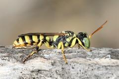 Cerceris boetica male (Juan Briantspuddle) Tags: cercerisboetica crabronidae philanthinae