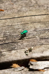 Six-Spotted Green Tiger Beetle [04.24.19] (Andrew H Wagner | AHWagner Photo) Tags: 5dmk3 5d3 5dmkiii 5dmarkiii 5dmark3 canon eos 100400l 100400mm f4556l f4556 is ii usm zoom telephoto 100400lii bokeh dof patuxentriverpark riverpark patuxentriver patuxent river park jugbay marylandnaturalarea princegeorgescounty wildlifesanctuary nature marsh swamp wetlands naturalarea forest woods cicindelasexguttata beetle groundbeetle sixspottedtigerbeetle tigerbeetle sixspottedgreentigerbeetle green
