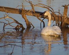 Trumpeter Swan (finlander13) Tags: minnesota wetlands sherburnenationalwildliferefuge exploremn exploresherburne exploreminnesota nature wildlife trumpeterswan