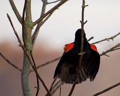 Red-winged Blackbird (finlander13) Tags: minnesota wetlands sherburnenationalwildliferefuge exploremn exploresherburne exploreminnesota nature wildlife redwingedblackbird