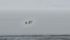 Gone (MrBlackSun) Tags: polar polarbear svalbard spitsbergen nature landscape arctic northpole nikon d850 nikond850 naturephotography landscapephotography
