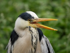 Grey heron (PhotoLoonie) Tags: heron greyheron wadingbirds waterbird wildlife nature bird