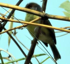 Rufous-browed Peppershrike, Cyclarhis gujanensis (asterisktom) Tags: 2019 may rufousbrowedpeppershrike cyclarhisgujanensis vireo guatemala guatemala2019aprilmay bird vogel ave 鸟 птица 鳥 pajaro