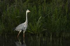DSC_9717 (Jesus DTT) Tags: garzareal ardeacinerea guadiana vicario aves río embalse pantano peralvillo