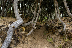 Trail to the beach (Lostinplace) Tags: trail beach pines beachpines moss oregoncoast newport twisted narrow