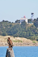 The Eagle and the Lighthouse (Lostinplace) Tags: baldeagle newport lighthouse oregon immature yaquinabay piling