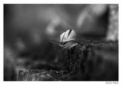 Snail (Aljaž Anžič Tuna) Tags: snail animal mollusk rain photo365 project365 onephotoaday onceaday 365 35mm 365challenge 365project nikkor nice nikond800 naturallight nikon nature nikon105mmf28 105mmf28 f28 dailyphoto day d800 bw blackandwhite black white blackwhite beautiful