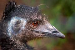 20190421_Birdseye_0001 (petamini_pix) Tags: emu bird head eye australianemu beak feathery plumed plumy stare intense scruffy animal dromaiusnovaehollandiae