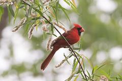 Northern Cardinal (gbarrow30305) Tags: northerncardinal cardinaliscardinalis male bird wildlife atlanta cochranshoals georgia