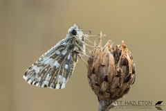 Grizzled skipper (Matt Hazleton) Tags: grizzledskipper skipper butterfly insect animal nature wildlife outdoor pyrgusmalvae canon canoneos7dmk2 canon100mm 100400mm eos 7dmk2 macro matthazleton matthazphoto northamptonshire