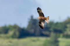 Milan Royal (denis.loyaux) Tags: ariège denisloyaux domainedesoiseaux mazères nikond850 oiseaux zonehumide bird france