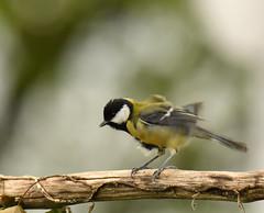 Mésange Charbonnière - Great Tit (Parus major) (Ziza !) Tags: oiseau bird mésange mésangecharbonnière parusmajor greattit