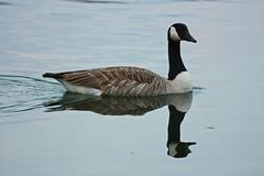 2019_05_20_3713e (ndk1978) Tags: tonbridge haysden goose reflction