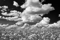 B&W clouds (Jos Mecklenfeld) Tags: raps koolzaad clouds wolken landscape landschaft landschap laude westerwolde groningen netherlands niederlande nederland spring frã¼hling lente sonya6000 sonyilce6000 sonyepz1650mm selp1650 rapeseed frühling bw