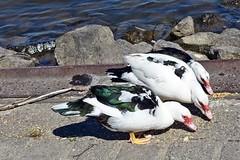 Warzenenten am Rheinufer (mama knipst!) Tags: warzenente ente duck vogel bird rheinufer