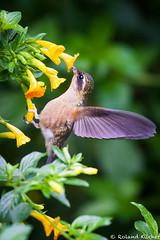 Hummingbird, Speckled (KilcherPNW) Tags: adelomyiamelanogenys colombia manizales rioblancoreserve speckledhummingbird