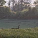 Deer - Saffron Walden
