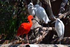 Red and White (gerard eder) Tags: world travel reise viajes europa europe españa spain spanien natur nature naturaleza fauna tiere animals animales birds waterbirds outdoor ibis valencia oceanográfico