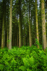 Hard Ferns (Stephen_Lavery) Tags: forest tree trees nature green wood landscape pine summer woods environment leaf trunk leaves woodland outdoors plant fir spring northern ireland water coniferous trunks conifer woodburn outdoor hard fern blechnum spicant bark bough branch broad cover fauna foliage greenery lines lumber natural parallel scene undergrowth weeds