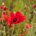 A Poppy Red