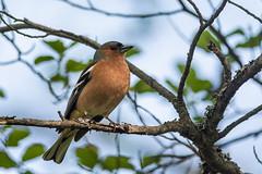 Bofink (Henrik Axelsson) Tags: bergslagen ludvika bird foliage fågel landsbygd