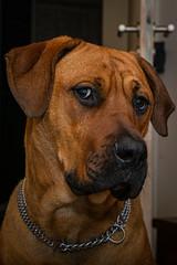 Beauty shot (mopro73) Tags: daheim franzi hund tiere