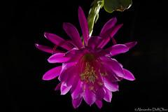 Epiphyllum hybrida_DSC1627 (achrntatrps) Tags: photographe photographer alexandredellolivo dellolivo lachauxdefonds suisse nikon d850 macro epiphyllum epiphyllumhybrida reinedelanuit queenofthenight königindernacht fleur cactaceae hylocereae flower blume nikonswitzerland cactacées cactus nikkor105mmf28micro sb700 sb900 multiflash hybrid hybride