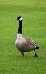 goose (Carrie Cooper) Tags: wildlife goose birds nature jadekat photography