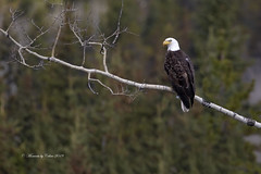 Bald Eagle (Canon Queen Rocks (3,000,000 + views)) Tags: raptors raptor wildlife wings wild nature eagle baldeagle perched birds birdsofprey birdofprey whitehead