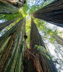 Looking Up 1 (Greg Adams Photography) Tags: redwood trees bark trunk green sky light giants towering park nature preserve peaceful serene amazing wilderness california northerncalifornia calif ca april 2019 spring roadtrip hhsc2000 travel