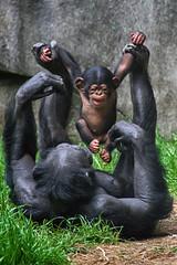 Weeeeee! (ucumari photography) Tags: ucumariphotography chimp chimpanzee pantroglodyte animal mammal nc north carolina zoo may 2019 dsc0264 obi specanimal