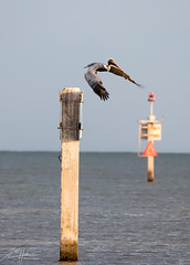 Lift Off ! (LASCAR35) Tags: 100400isiil brownpelican pelicanbrun 80d canon bird birding dlsr miami