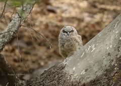 Along the Way (slsjourneys) Tags: owl greathornedowl huachucacanyon